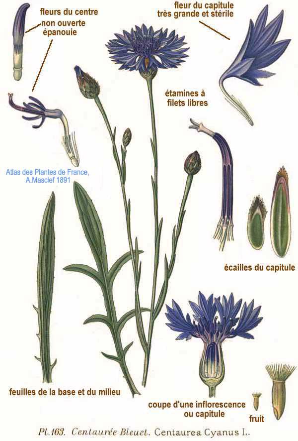Illustration-of-Cornflower