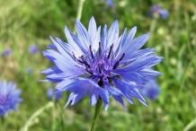 Close-view-of-Cornflower