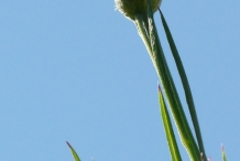 Cornflower-bud-and-stalk