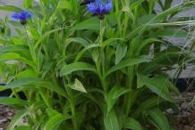 Cornflower-plant