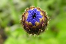 Cornflower-bud
