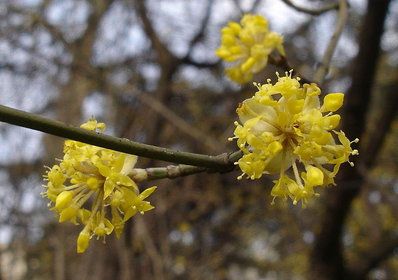 Closer-view-of-Flowers-of-Cornus-mas