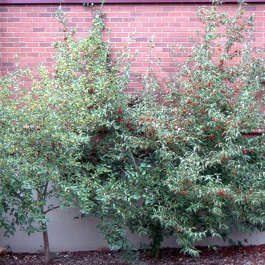 Cornus-mas-Plant