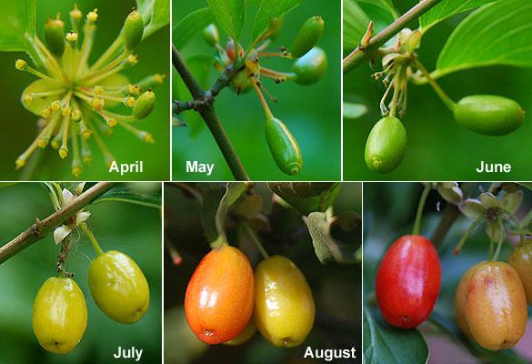 Developing-fruits-of-Cornus-mas