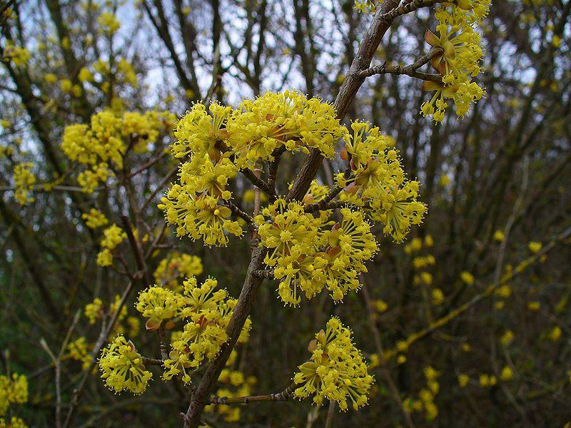 Flowers-of-Cornus-mas