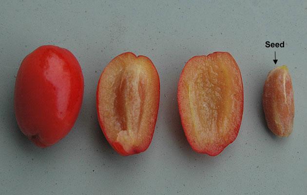 Fruit-and-its-seed-of-Cornus-mas