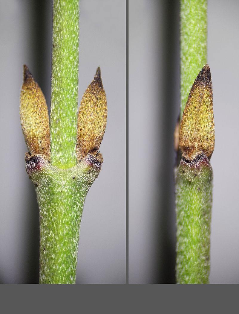 Leaf-buds-of-Cornus-mas