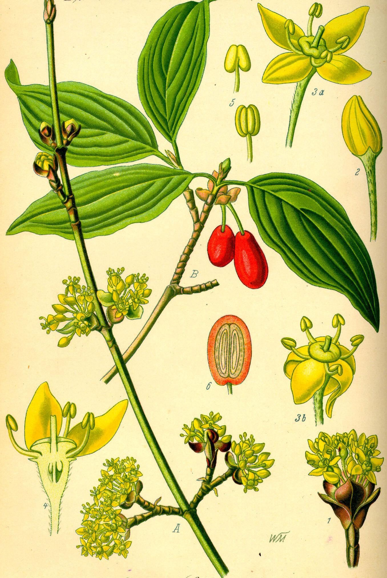Plant-Illustration-of-Cornus-mas