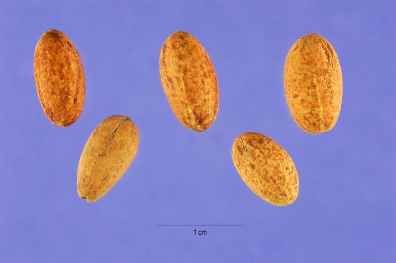 Seeds-of-Cornus-mas