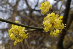Closer-view-of-Flowers-of-Cornus-mas
