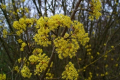 Flowers-of-Cornus-mas