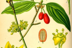 Plant-Illustration-of-Cornus-mas