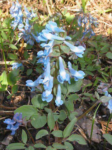 Corydalis-plant