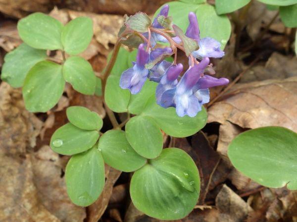 Flower-of-Corydalis