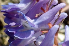 Closer-view-of-Flower-of-Corydalis
