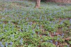 Corydalis-Plant-growing-wild