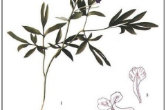 Plant-illustration-of-Corydalis