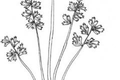 Sketch-of-Corydalis