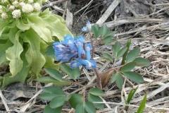 Small-Corydalis-Plant