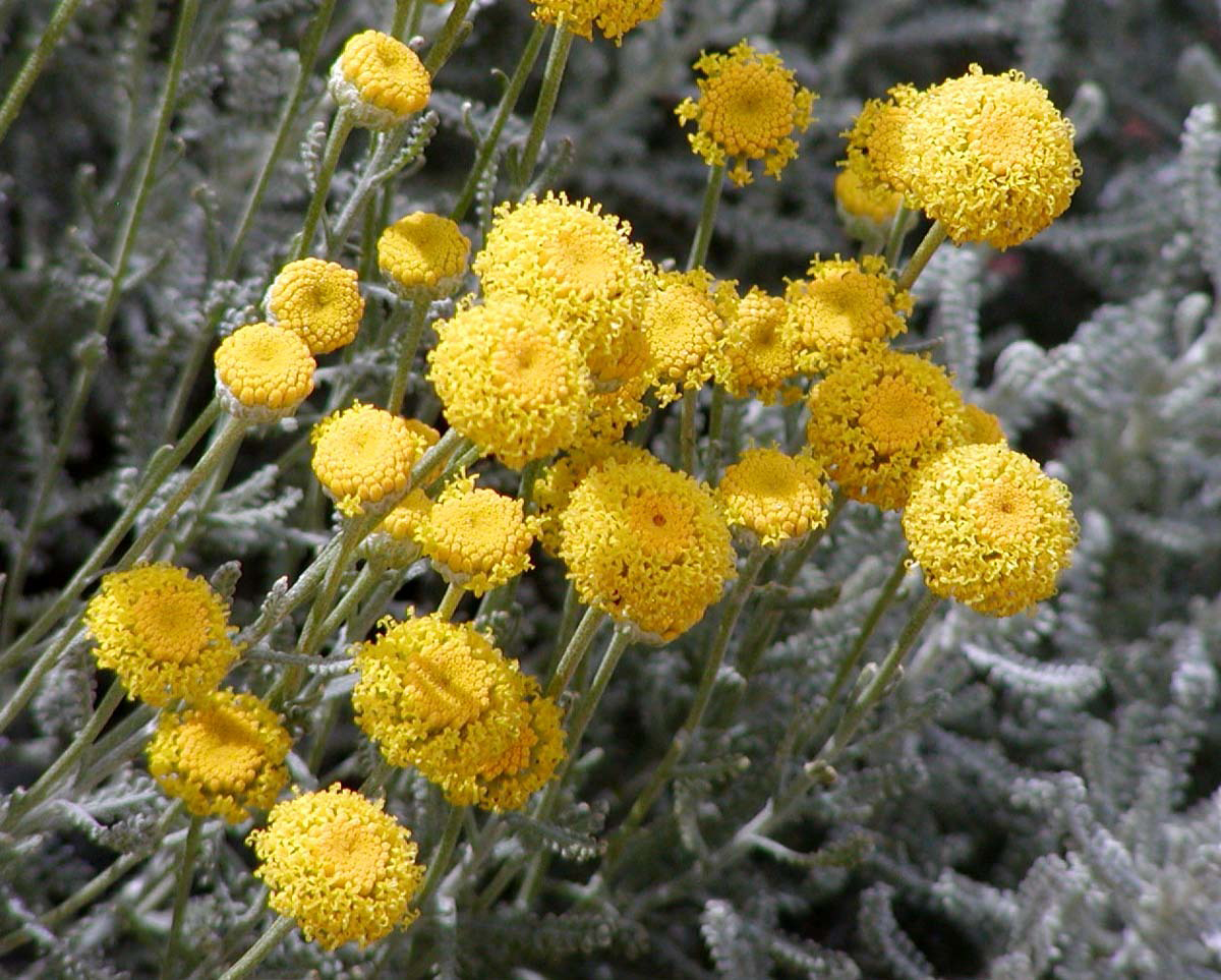 Cotton-Lavender-bloom