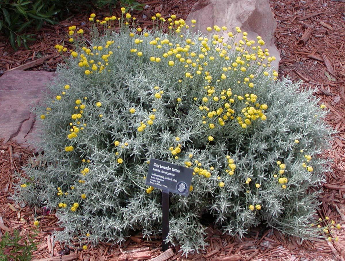 Cotton-Lavender-plant