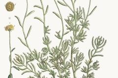 Plant-illustration-of-Cotton-Lavender