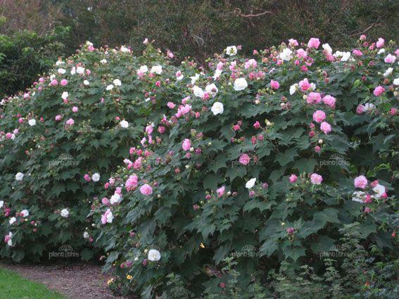 Cotton-Rose-plants-growing-wild