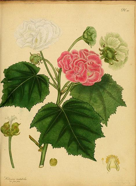 Plant-illustration-of-Cotton-Rose