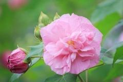 Cotton-Rose-Flower