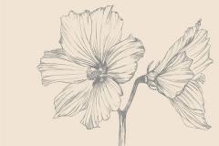 Sketch-of-Cotton-Rose