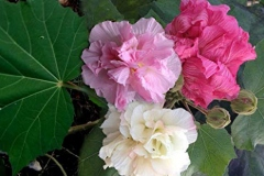 Three-stages-of-Cotton-Rose-blooming