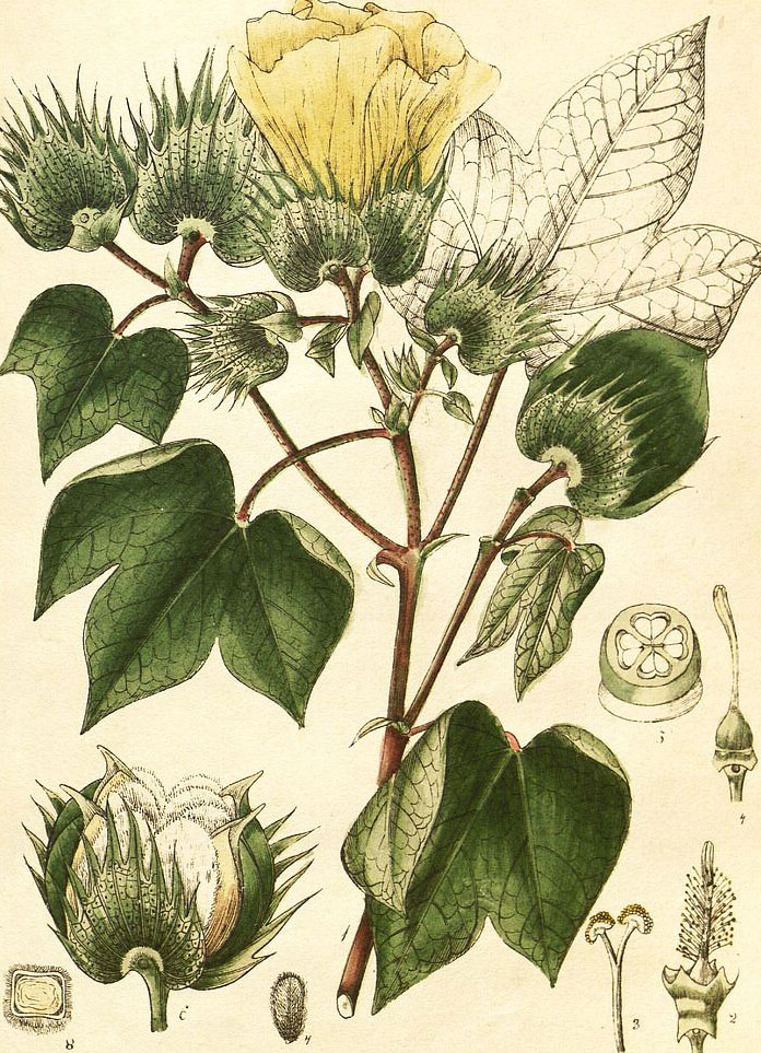 Plant-Illustration-of-Cotton
