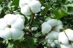 Cotton-on-the-tree