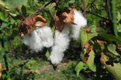 Seed-floss-cotton-hanging-from-open-seedpod
