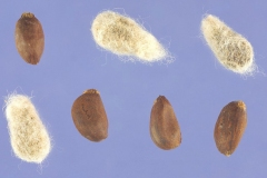 Seeds-of-cotton
