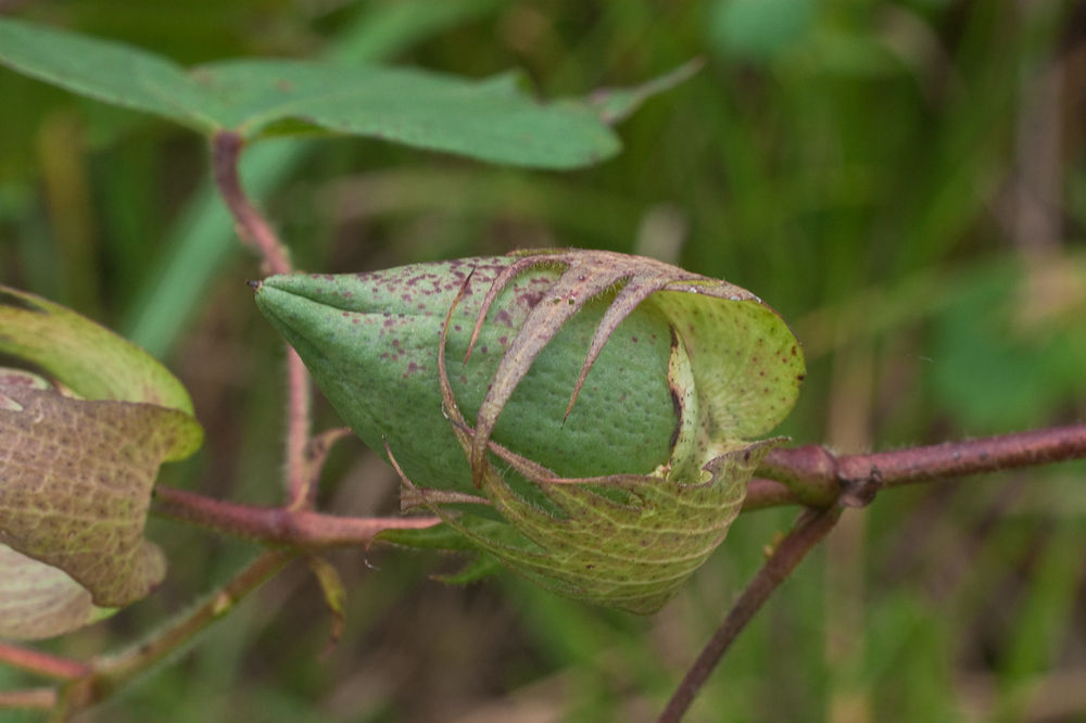 Cottonseed-buds
