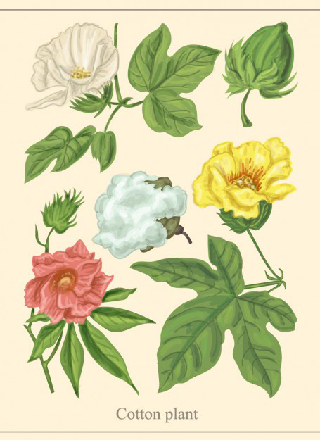 Cottonseed-plant-illustration