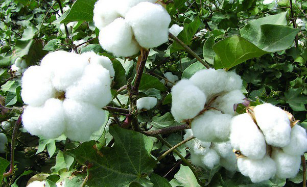 Cottonseed-plant-with-cotton