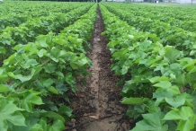 Cottonseed-farm