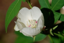 Cottonseed-flower-white