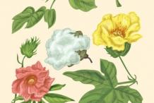 Cottonseed-plant-illustration