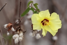 Cottonseed-flower-yellow