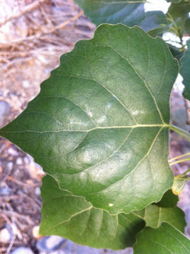 Closer-view-of-Cottonwood--leaf