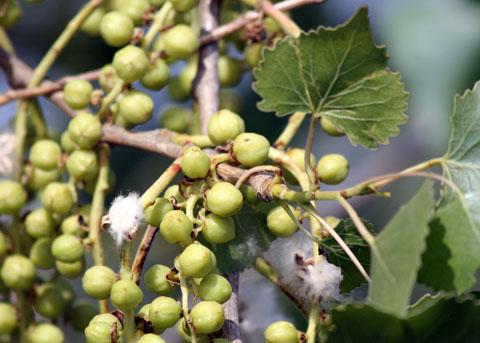 Mature-Cottonwood-fruit