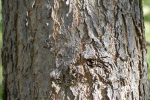 Cottonwood--Bark