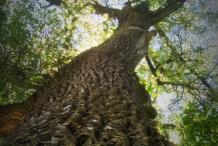Cottonwood--tree