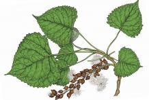 Plant-illustration-of-Cottonwood