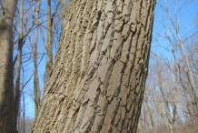 Trunk-of-Cottonwood