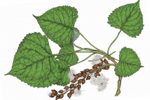 Plant-illustration-of-Cottonwood