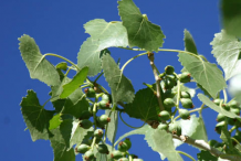 Unripe-or-developing-fruit-of-Cottonwood